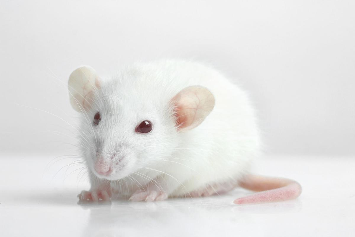 Alcohol reshapes the brain in ways that make rats more likely to become cocaine addicts