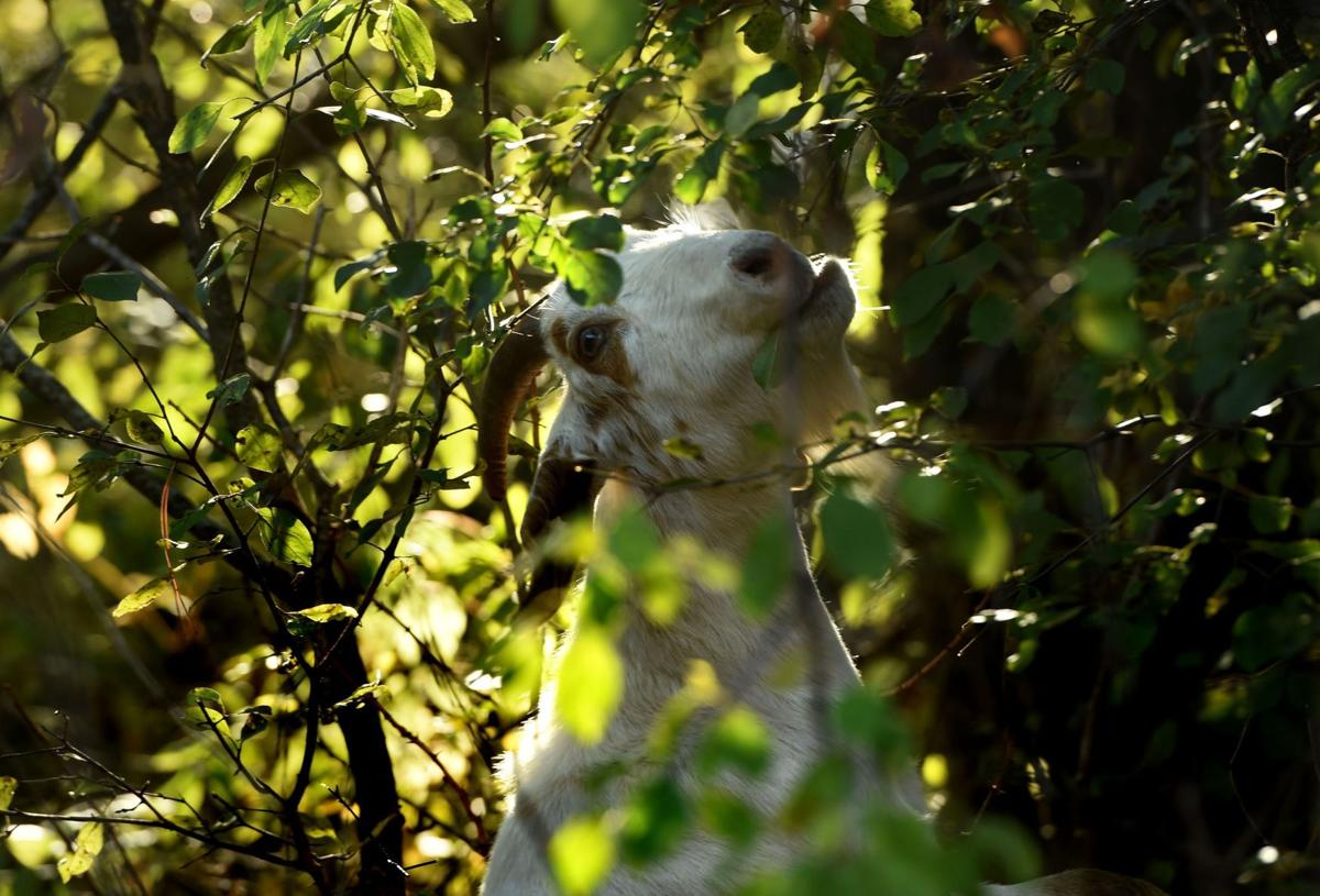 Washington County Uses Goats To Combat Buckthorn