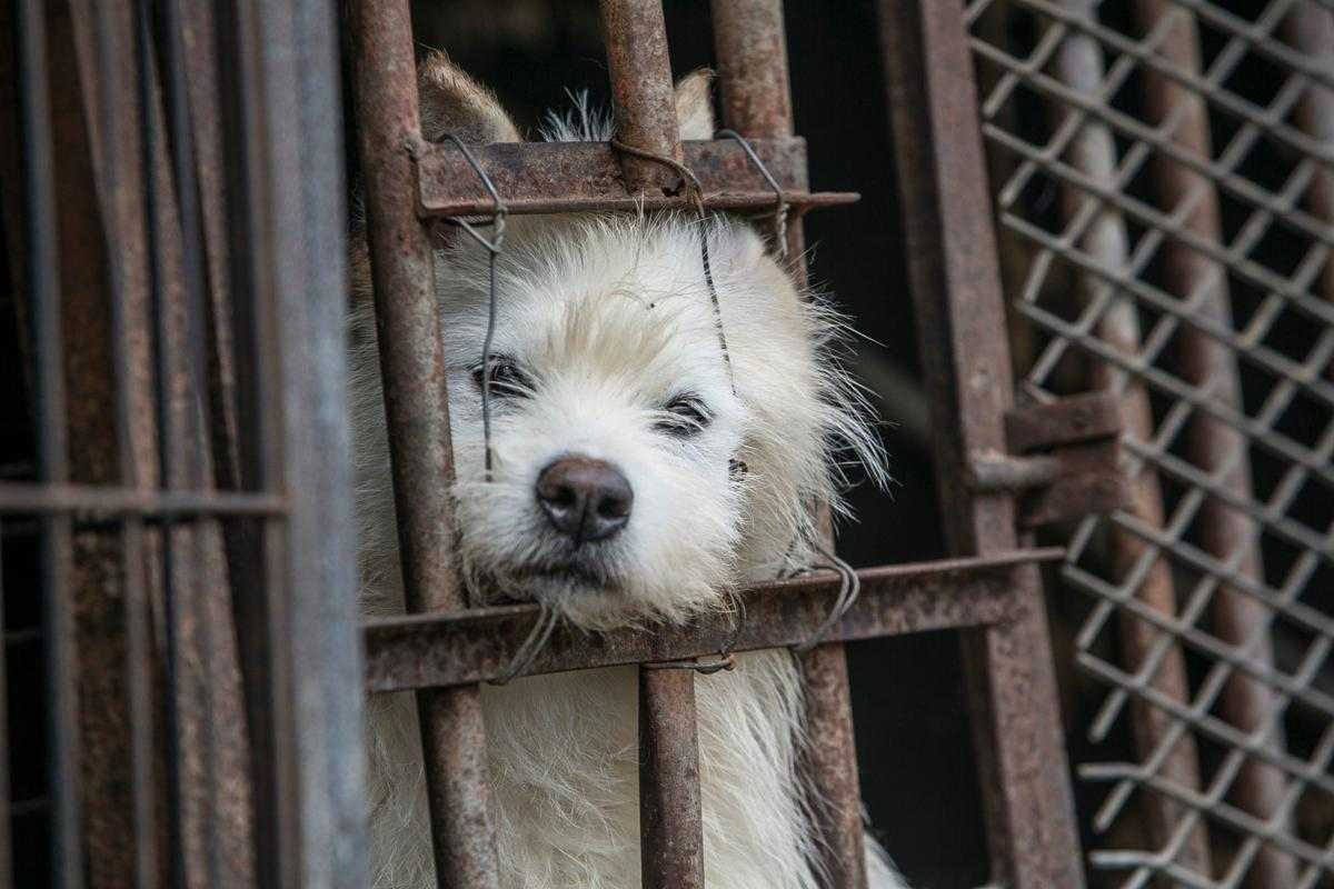 South Korea Dog Meat Farm (Farm 12)