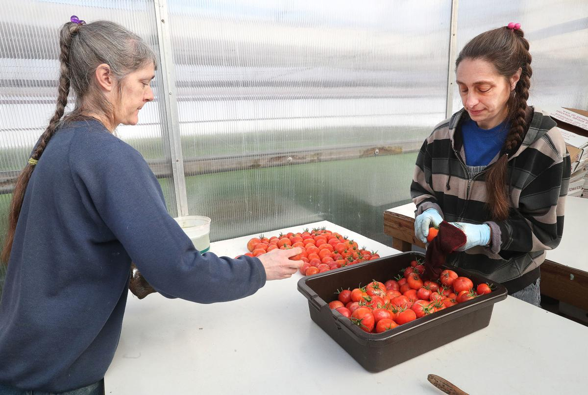 Tomato Patch 2