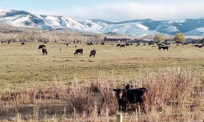 Cattle Wind River Range Lander