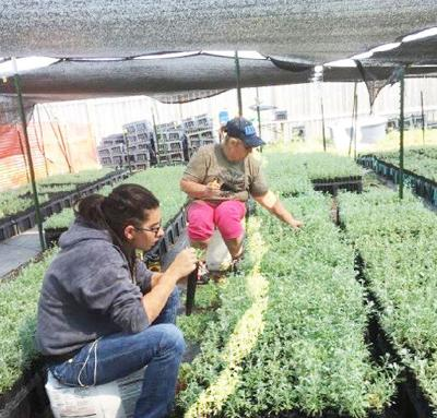Locally raised plants to help in fire restoration