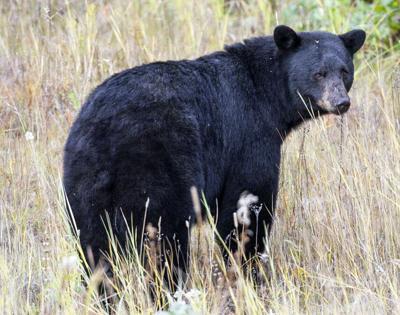 ODFW Bear hunt update