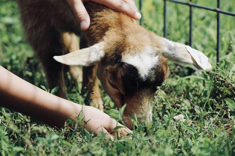 Baby Goat Petting Zoo Royalty Free Stock Photo