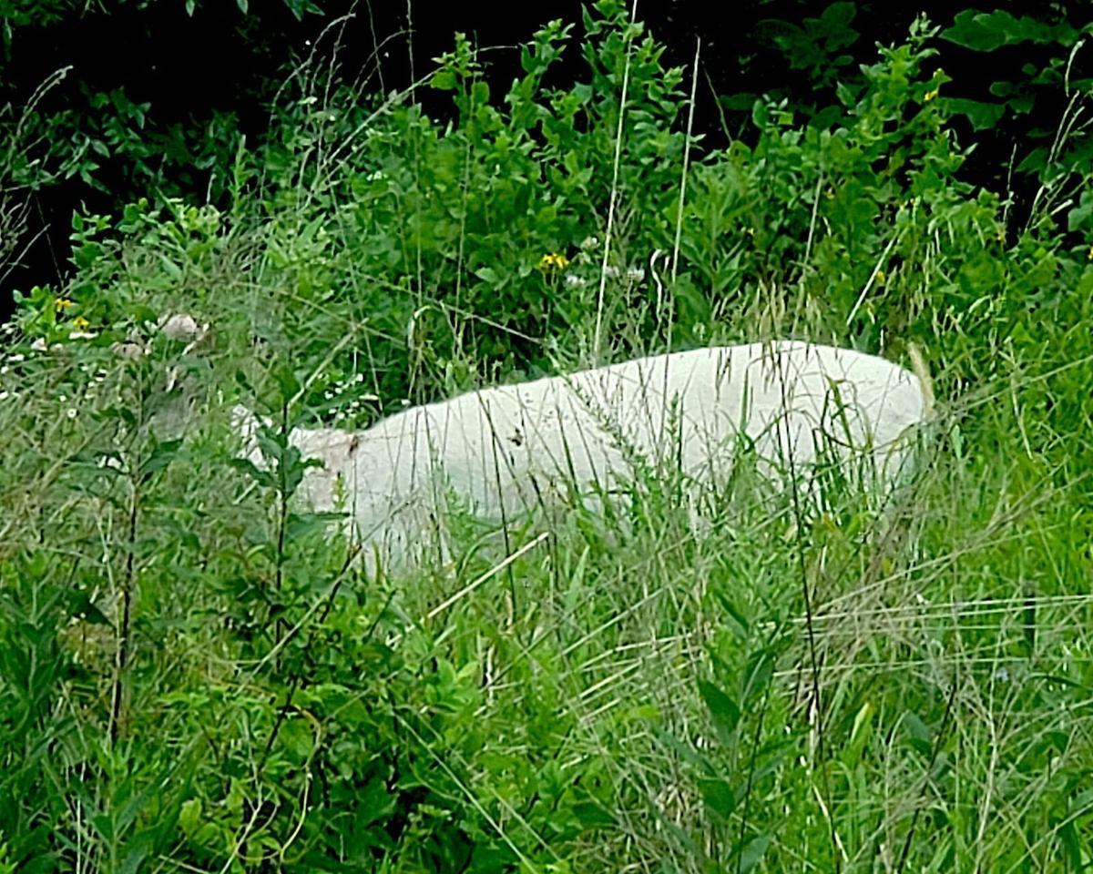 Albino Deer - Buck In Velvet - Laurie/Gravois Mills