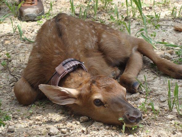 elk calf 1.jpg