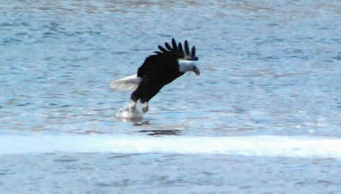 Eagle Days 1st Place Photo By Tracy Minear