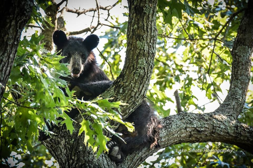 New Black Bear Map Will Tell The Story Of Missouri Bears While