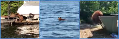 Black Bear Swimming In Lake Of The Ozarks