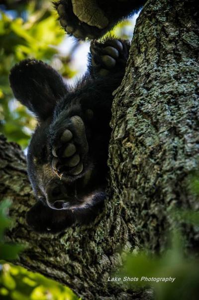 Bear In A Tree In Osage Beach