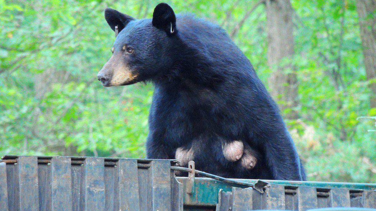 Mama Bear In Dumpster Flick photo by Jim Mullhaupt https:::flic.kr:p:gWqovV.jpg