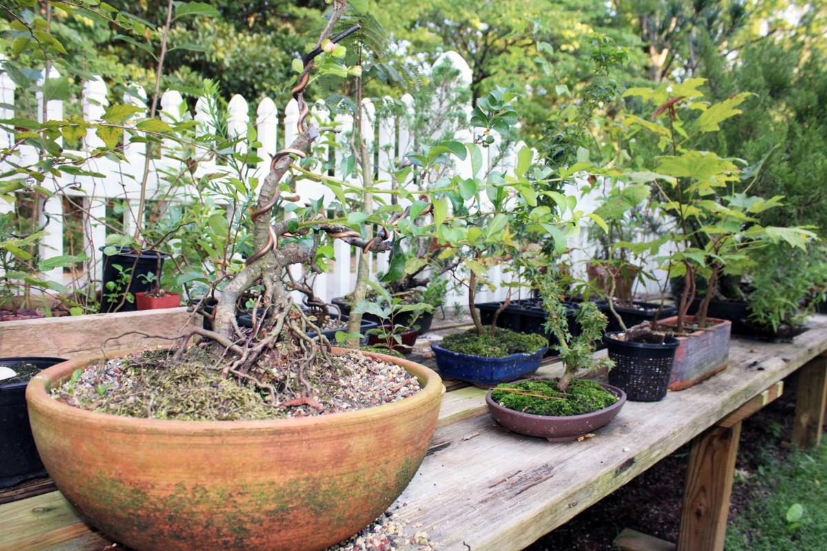 Local Man Raises Bonsai From Native Plants News Lakegastongazette Observer Com