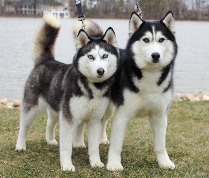 Siberian huskies find refuge at Lake Gaston