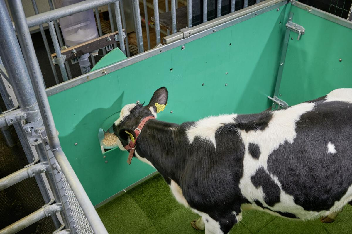 Scientists are potty-training cows in a bid to help save the planet