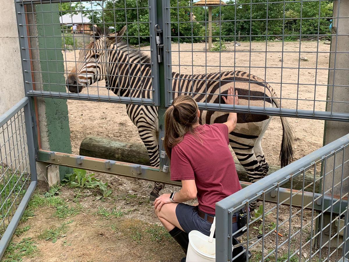 Racine Zoo zebra training