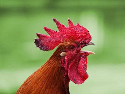 Rooster chicken generic free image