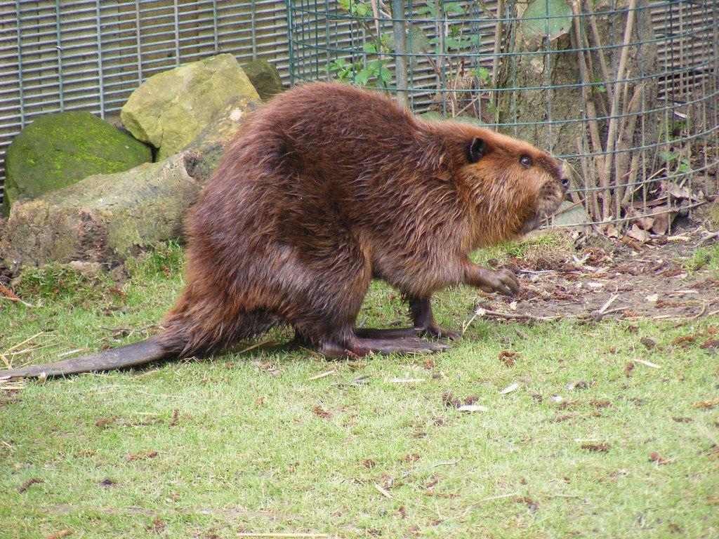 Beaver free clip art image