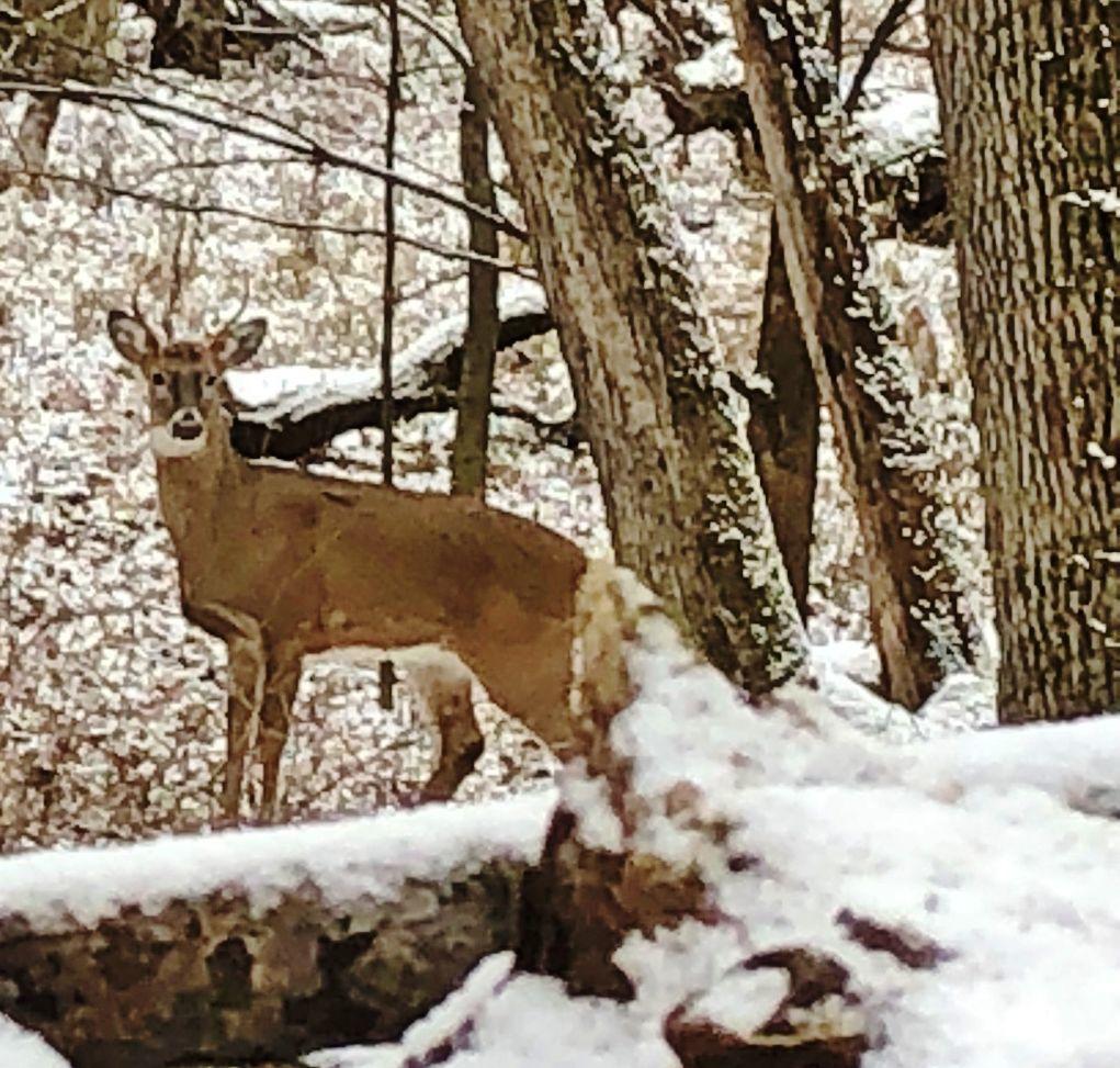 Deer hunting buck