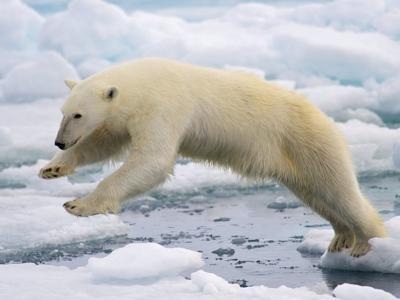 Polar bear free stock image for Ammon column