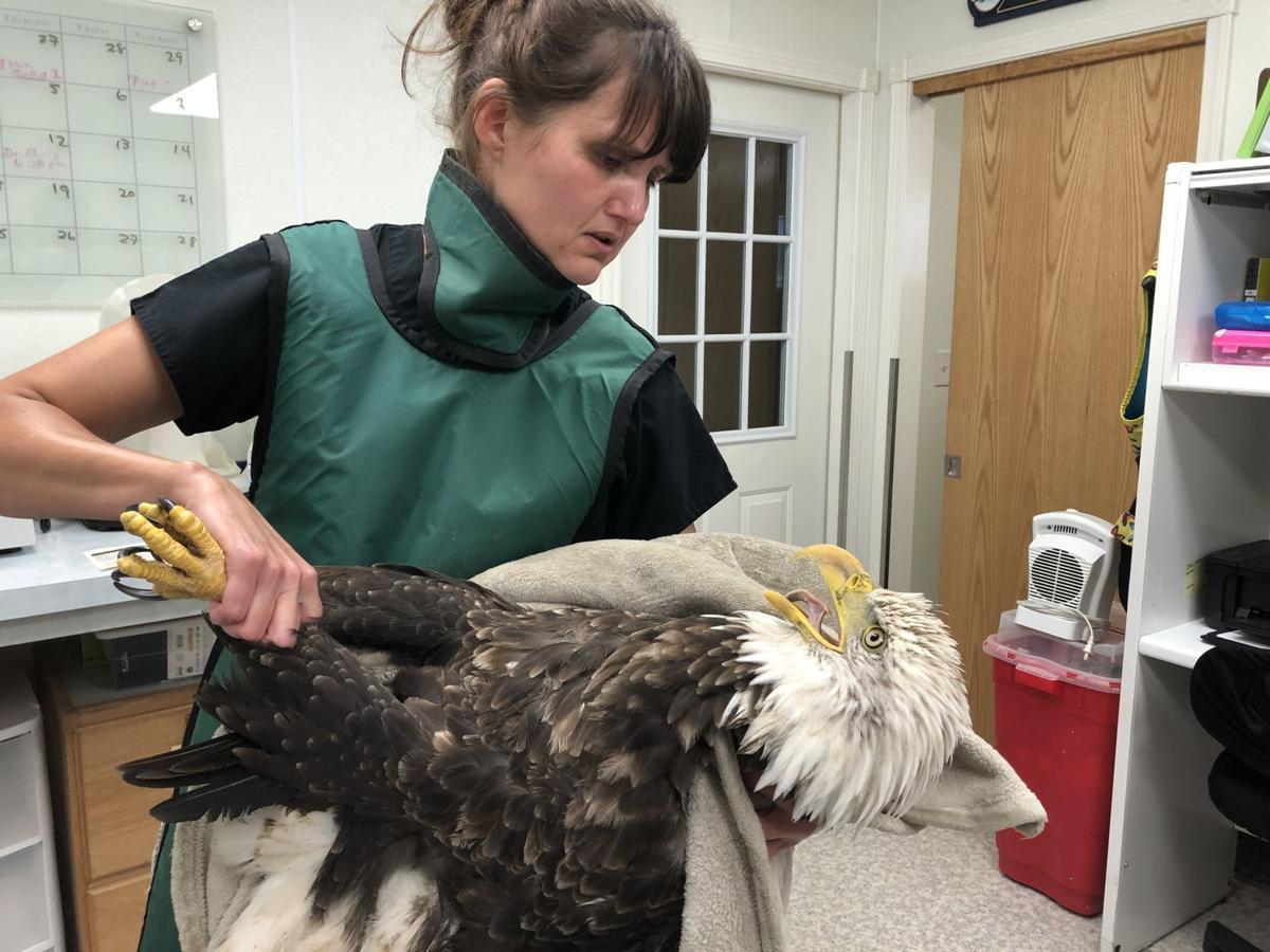 Fellow Mortals bald eagle