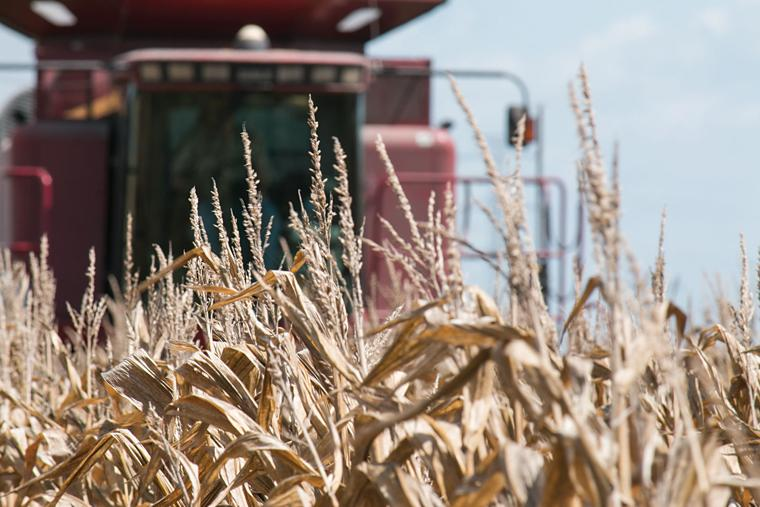 local farmer keith bram tuesday harvests one of his corn fields south of el campo off cr 415 grain started coming into united ag s danevang bins last week