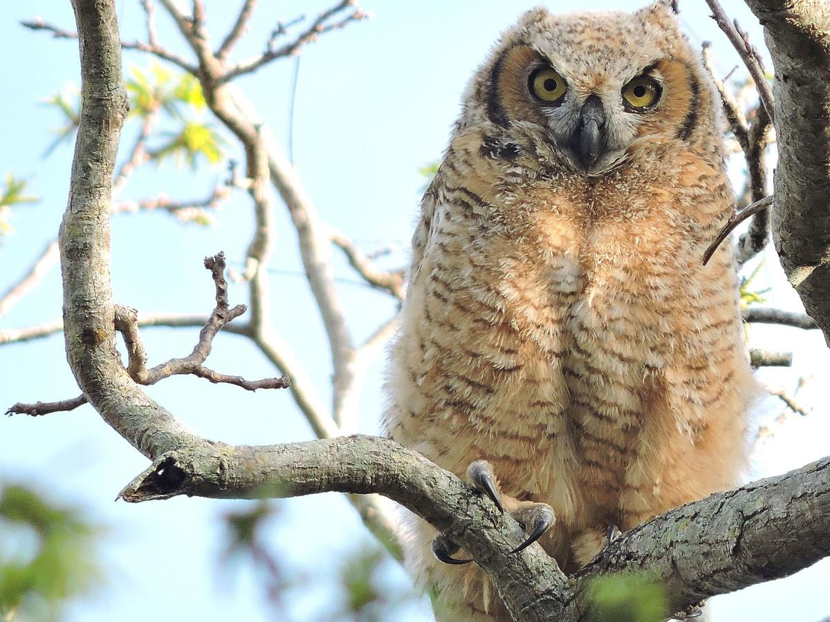 Young owl