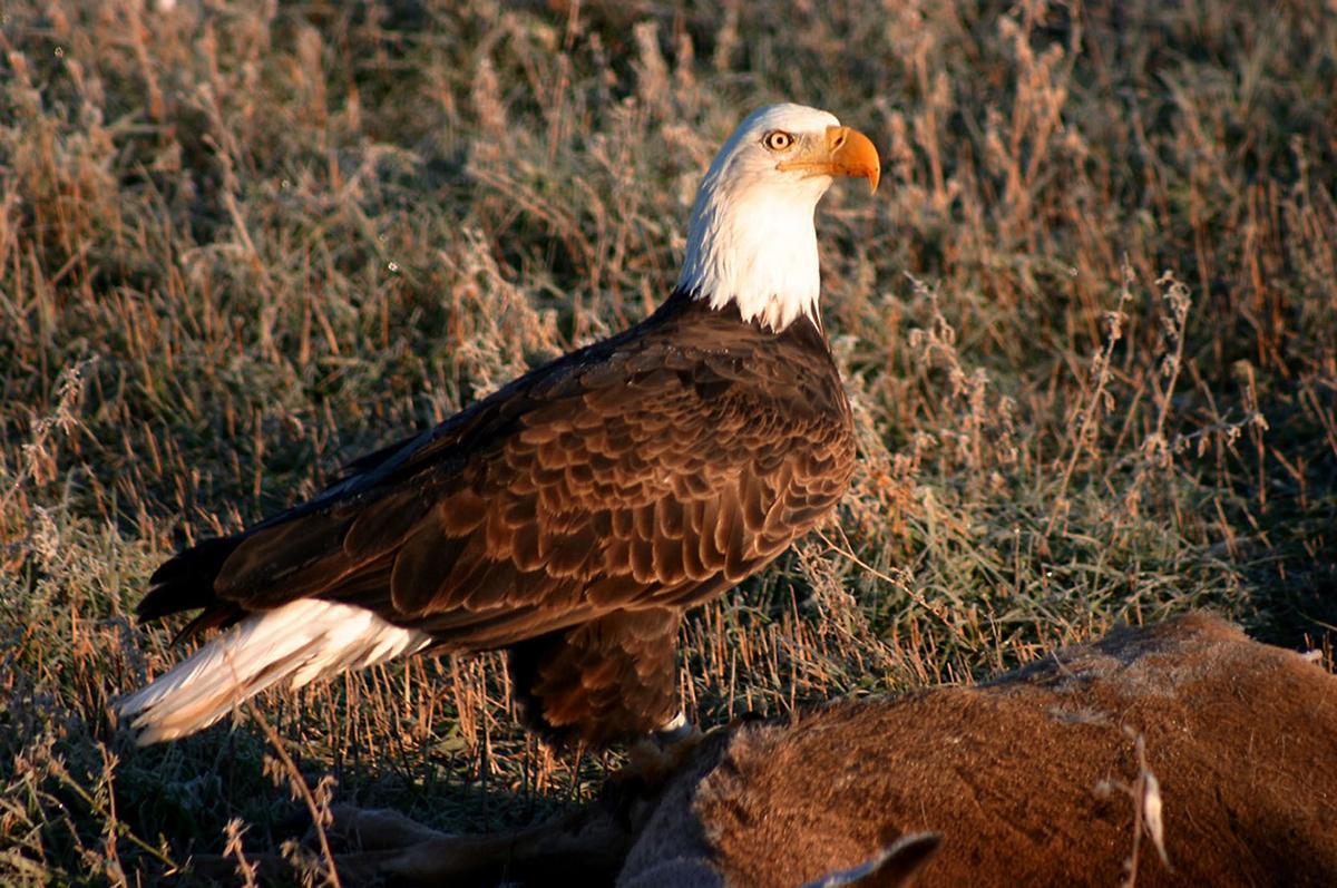 011119_con_eagle