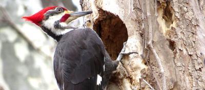 011020_con_Woodpecker