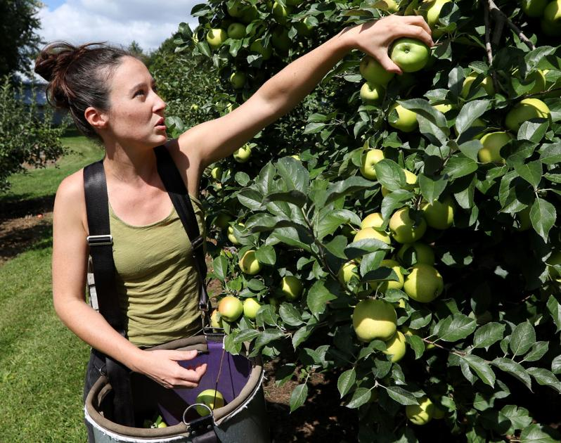 Local orchards face delays, but expect similar apple harvests to past years
