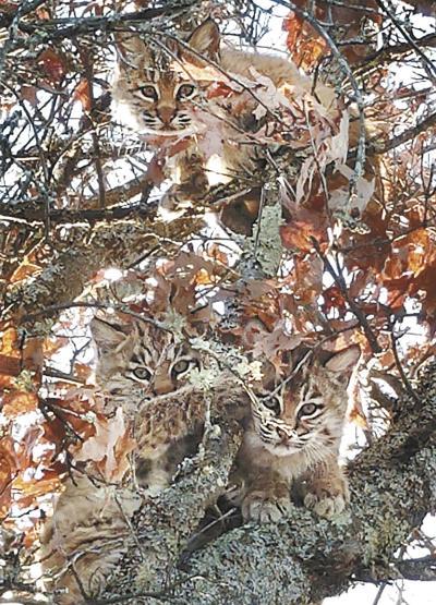 112518_con_bobcats