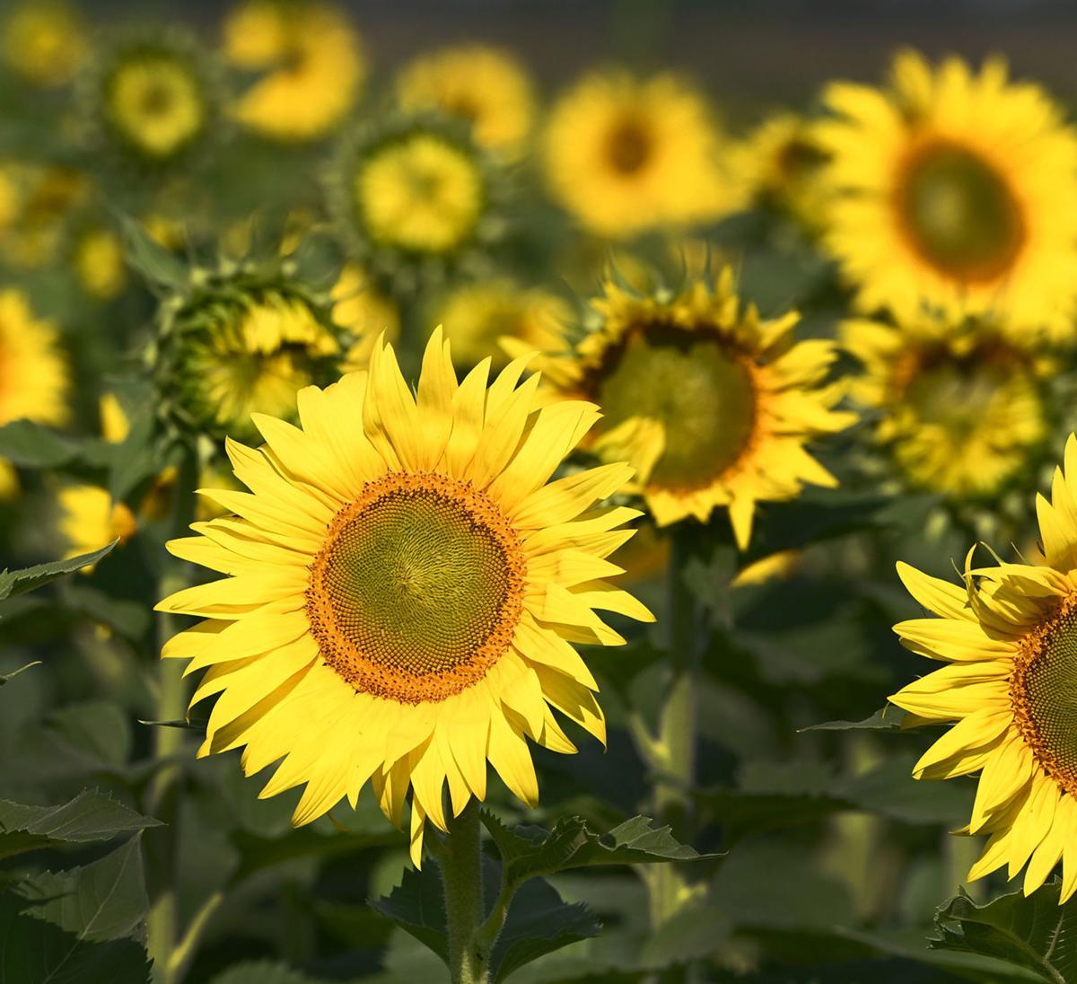 11 Ben August 2021 Sunflowers near Cecil