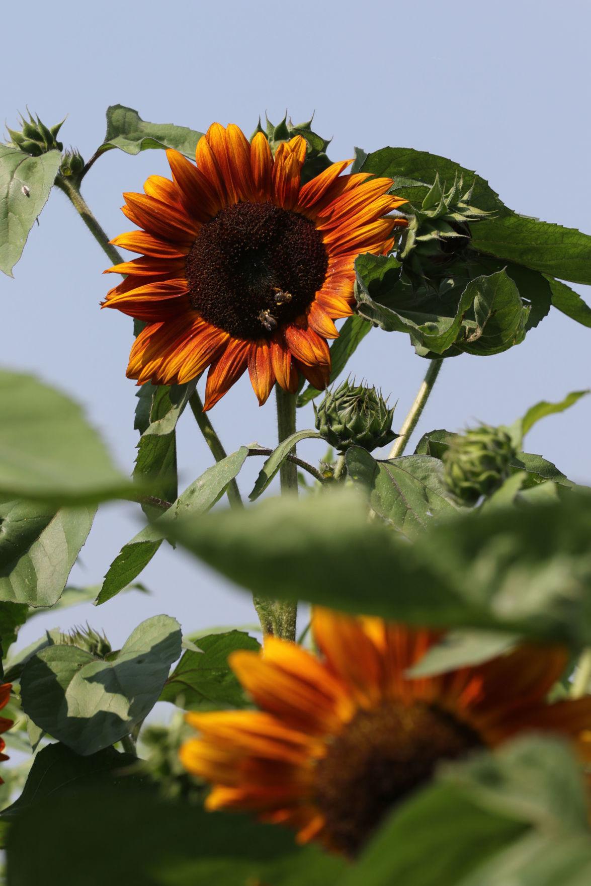 05272020_tct_dr_Sunflowers2