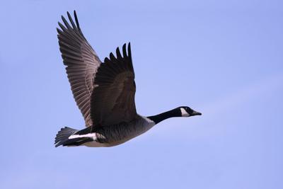 goose 15845395-898