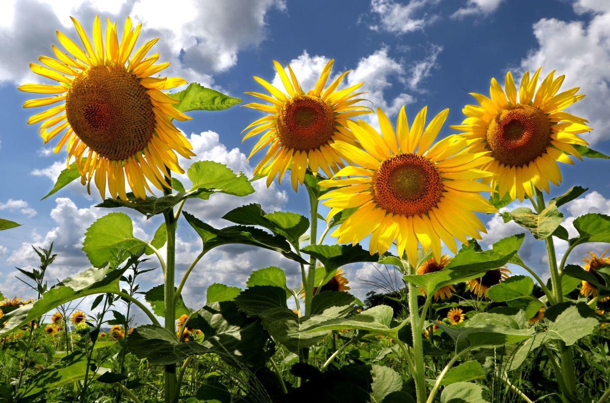 05272020_tct_dr_Sunflowers1