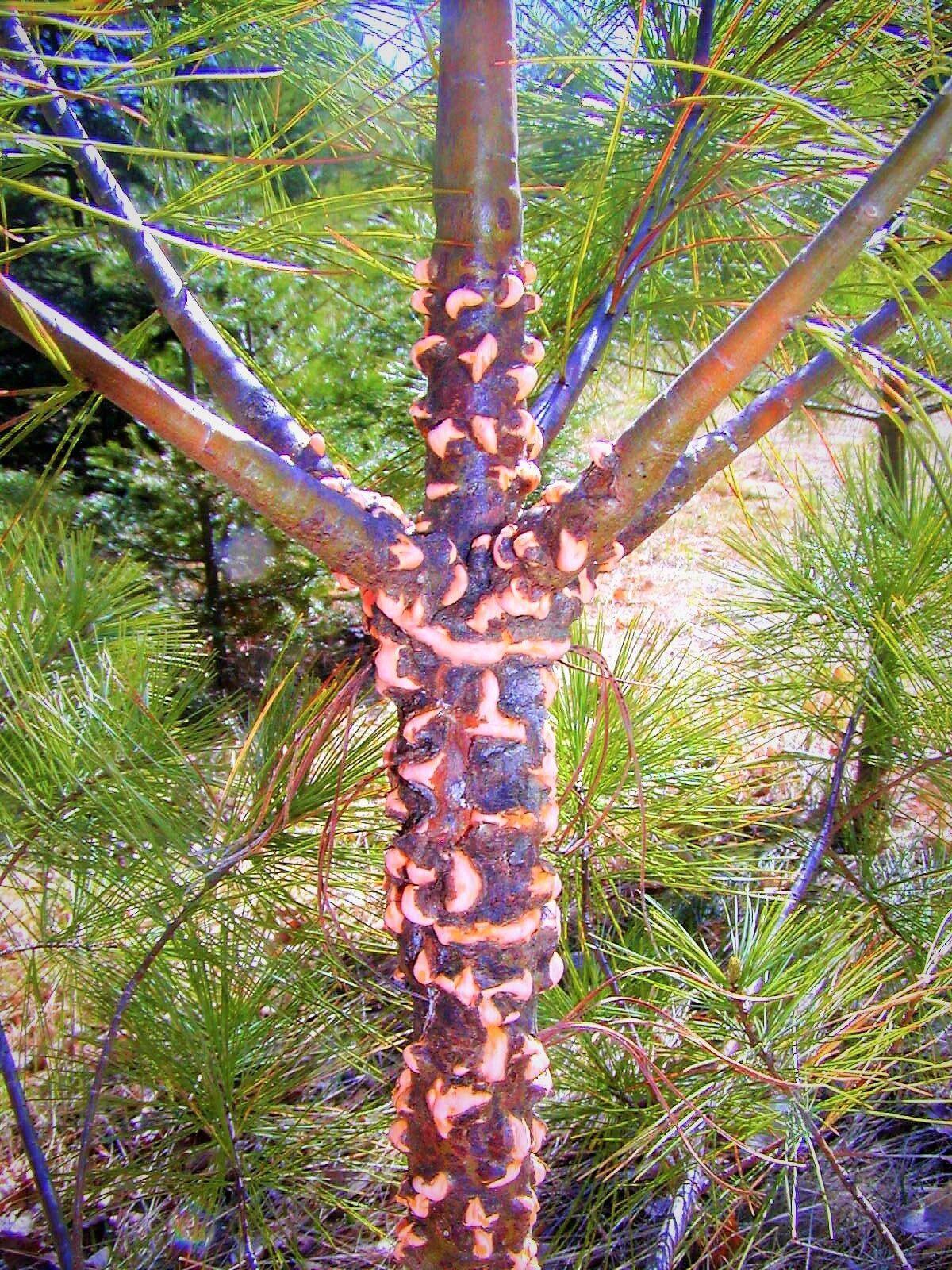 White pine blister