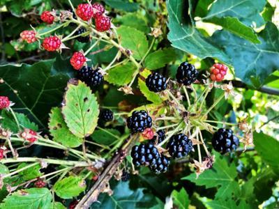 Dry spell leaves blackberry picking somewhat slim ...