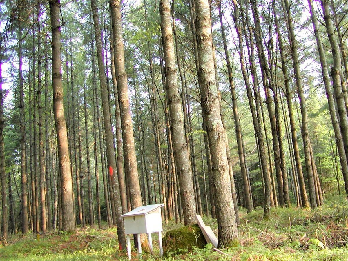 White pine stand