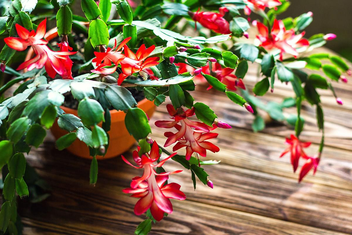 Caring For Christmas Cactus.Caring For Christmas Cactus Poinsettias And Overwintering