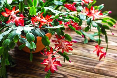 How To Care For Christmas Cactus.Caring For Christmas Cactus Poinsettias And Overwintering