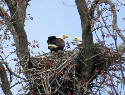 Record number of bald eagle nests