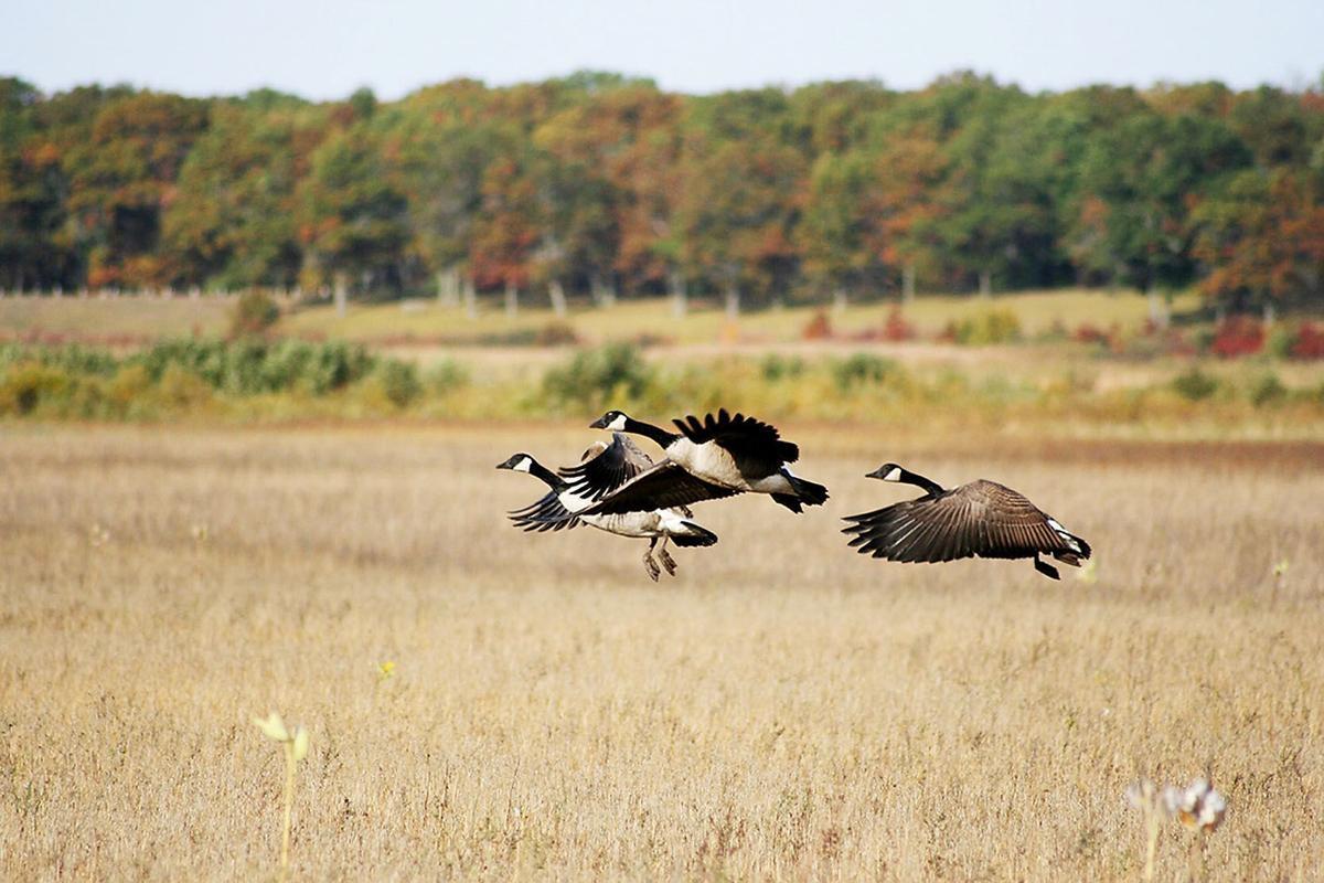 011119_con_geese