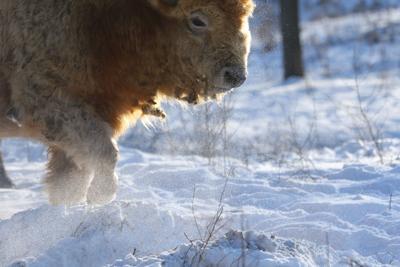 mw_bison_70_121516-32