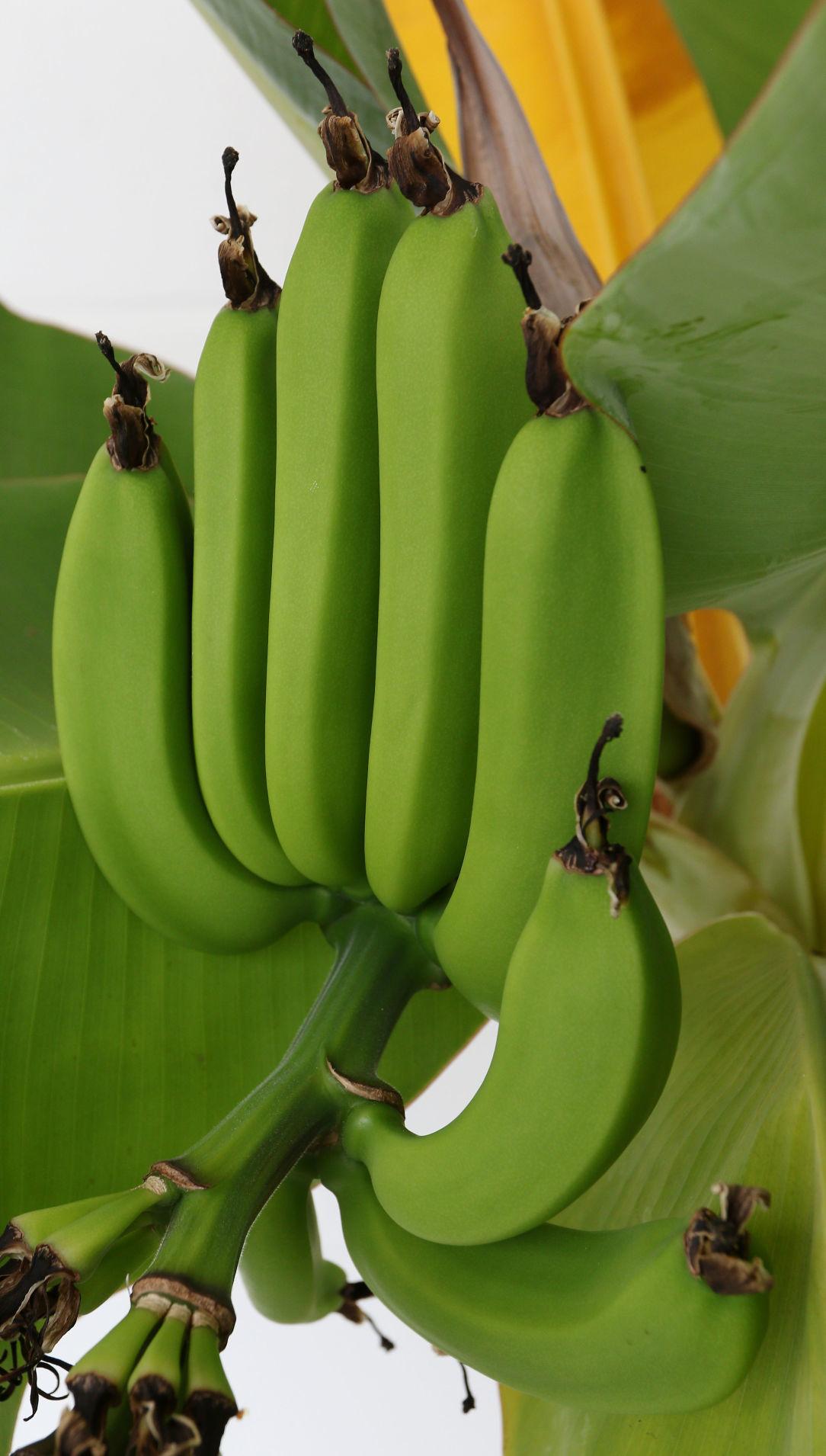 082719_dr_banana_5a