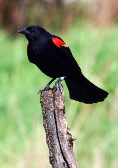 06242020_tct_Blackbird