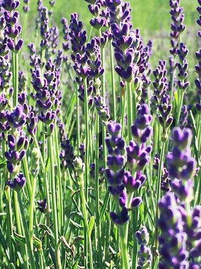 07312019_tct_con_Lavender
