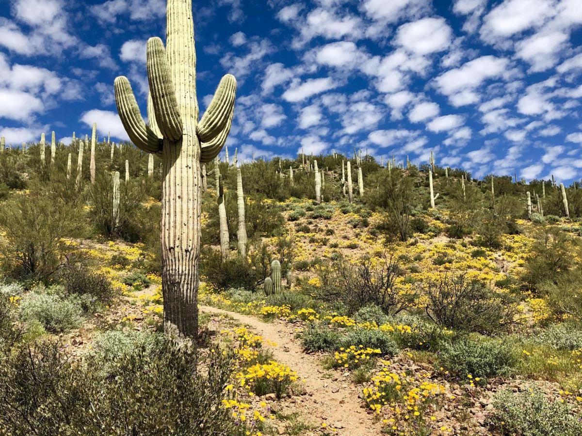 Giant saguaro cacti stand tall along many parts of the trail.
