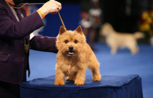What to Expect From the National Dog Show on Thanksgiving in 2020