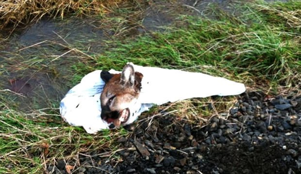 Cougar remains found