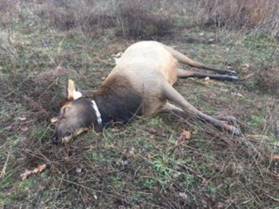Elk poacher charged with illegal kill