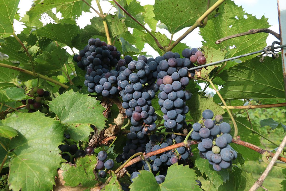 Mac's Creek grape harvest down one third due to damaging weather conditions